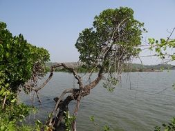 mangrove forests at the river