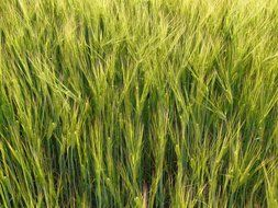 barley field is agriculture