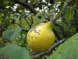 green quince fruit