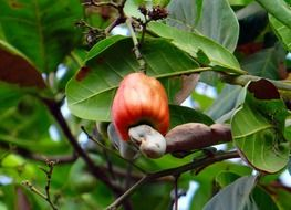ripe red cashew fruit on branch