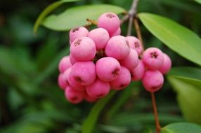 pink berries on the branch