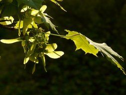 leaves on acer platanoides