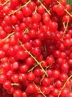 currants harvest