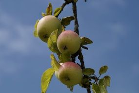 apple tree aesthetic branches healthy vitamins fruits