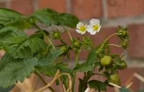 closeup photo of the strawberry plant