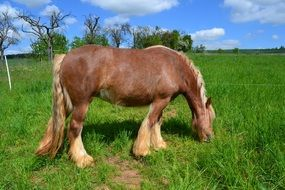 brown horse grazes in a green meadow