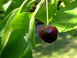 ripe cherry beneath leaves on branch