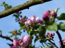 apple tree blossoming in spring