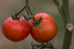 mini tomatoes on a branch
