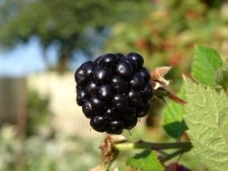 orchard blackberry
