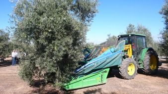 olive olives olivas fruit tree