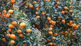 orange tangerines on the branches
