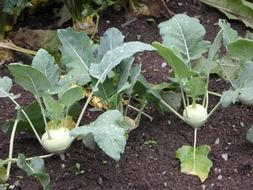 kohlrabi vegetables in a garden