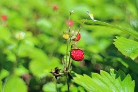 edible forest strawberry red fragaria vesca wild plant