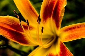orange maroon lily in the garden