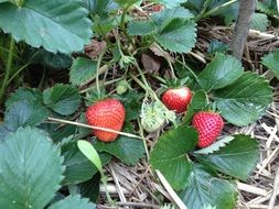 garden strawberry fruit