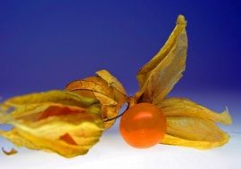Physalis for scenery