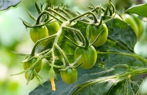 green tomatoes on a bush close-up