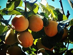 persimmon grows on a tree