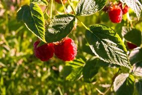 red raspberries on a branch