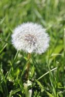 fluff of a dandelion