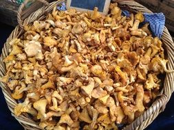 chanterelles in a wicker basket