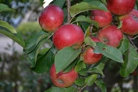 healthy apples on tree