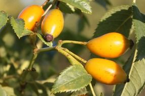 yellow rose hips