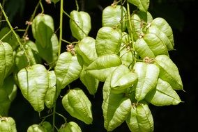green physalis seed pods at dark background