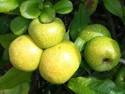 yellow and green apples on a branch