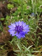 blue wildflower in nature
