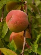 red ripe peaches on branch