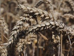 wheat-cereal grain
