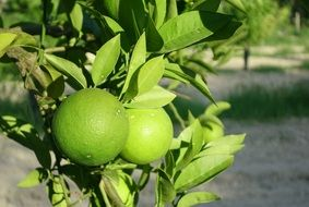 green unripe oranges on branches