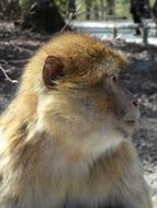 a photo Barbary ape