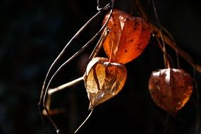 physalis alkekengi, dry plant with fruit in darkness