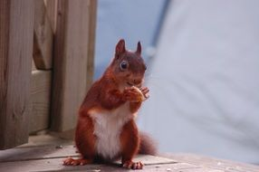 Red eating squirrel in nature