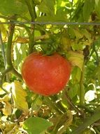 big red tomato ripening on plant