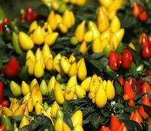 red and yellow small peppers on plant