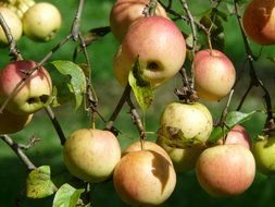 ripe apples on the tree branch