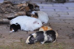 cute white and black guinea pigs in zoo