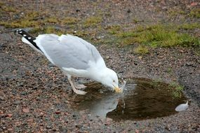 Seagull drinks water
