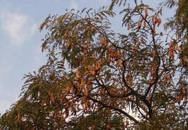 sour medicinal fruits at the tamarind tree