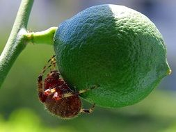 Spider on a green lime