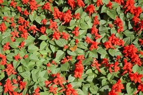 red salvia on flower bed, background