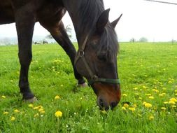 Black horse on green grass with dandelions