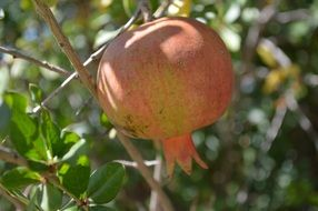 Fresh pomegranate on a branch