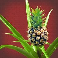 baby pineapple on a bush close up