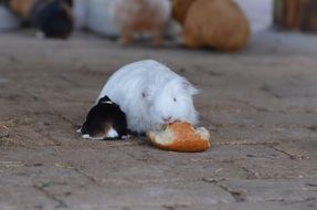guinea pig eating a bun