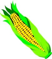 unpeeled corn spike, illustration
